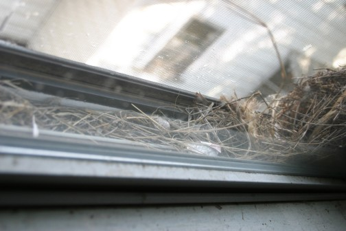 Seeing the cracked eggs and feathers in this narrow home made me nervous. I hoped that the fledglings escaped—or, that that they became fledglings at all.