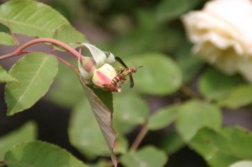 Bee on Bud